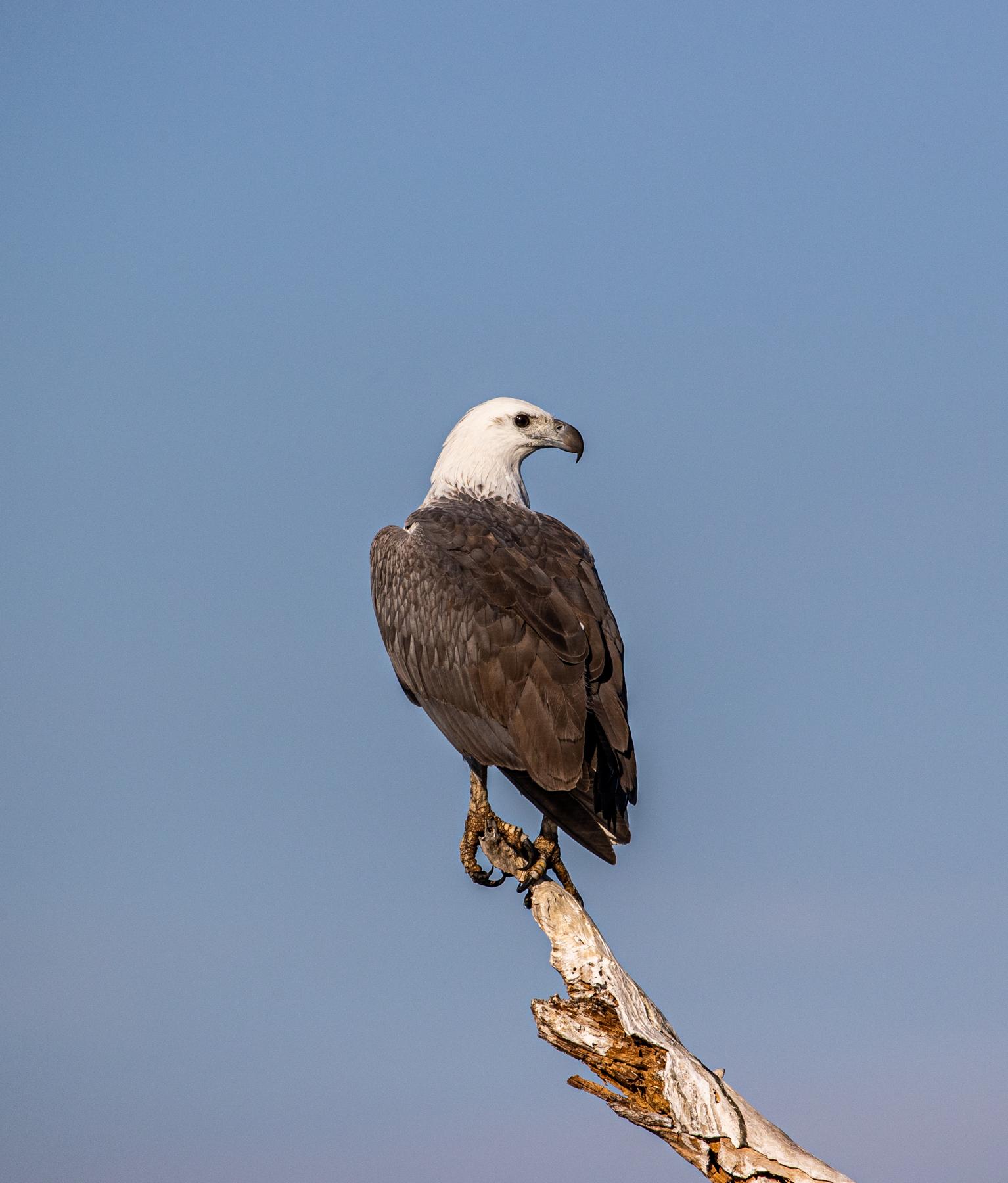 White-bellied Sea-Eagle (Image ID 46863)