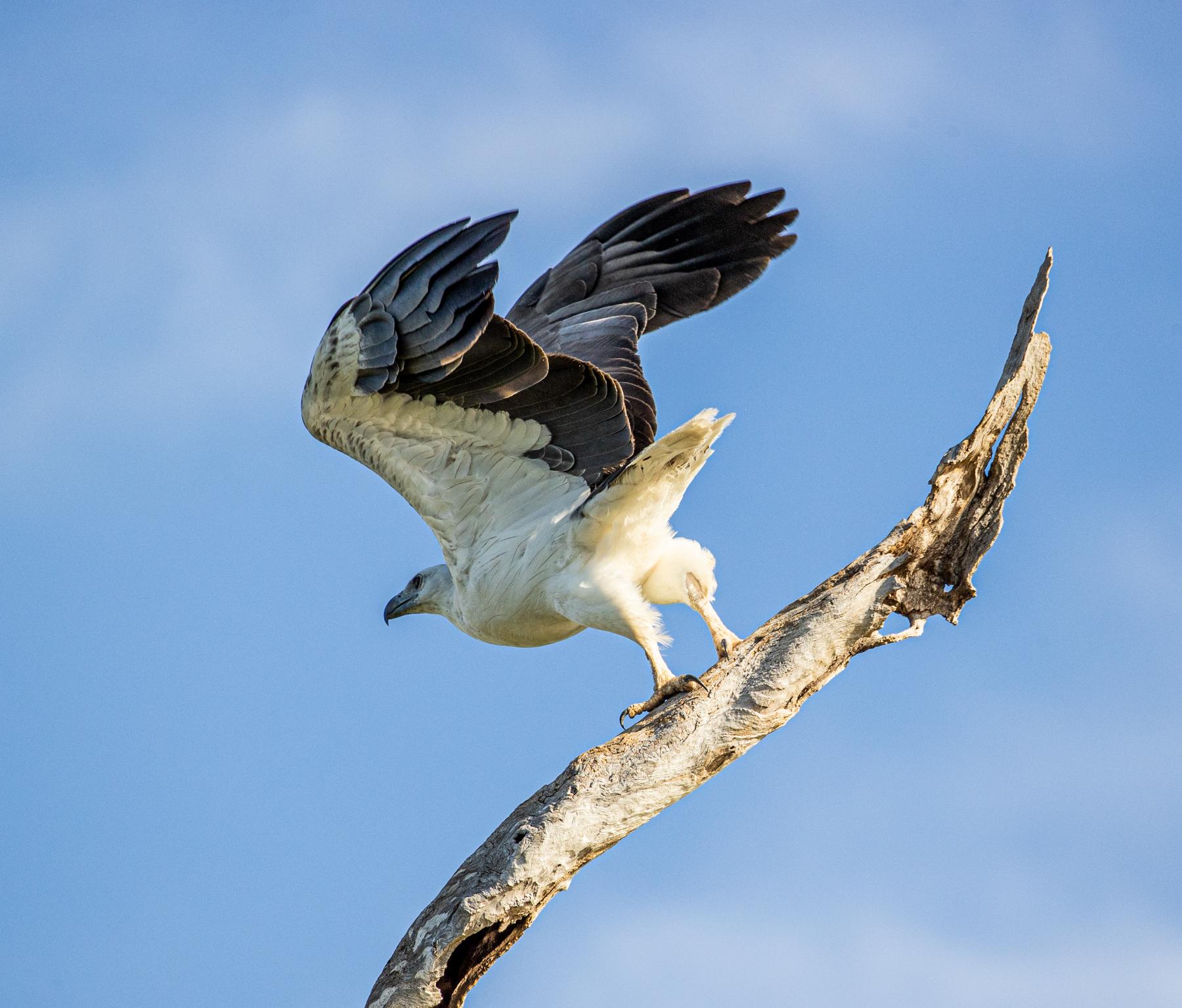 White-bellied Sea-Eagle (Image ID 46685)