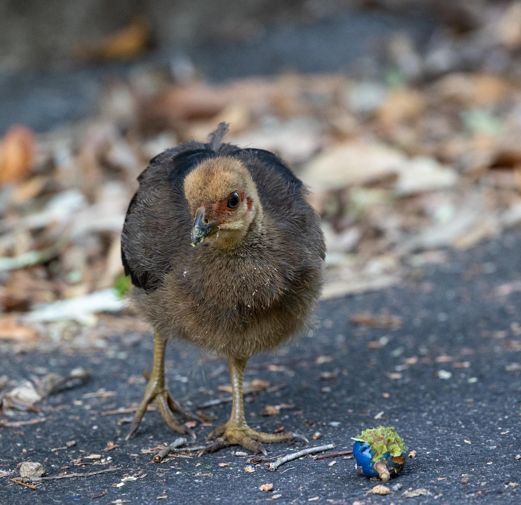 Australian Brush-turkey (Image ID 46623)