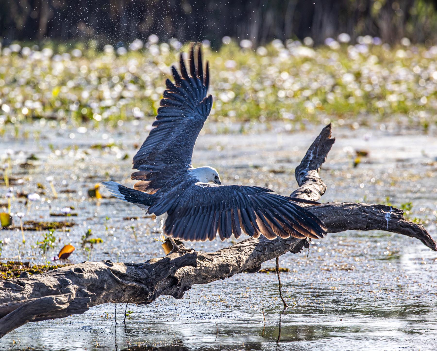 White-bellied Sea-Eagle (Image ID 46864)
