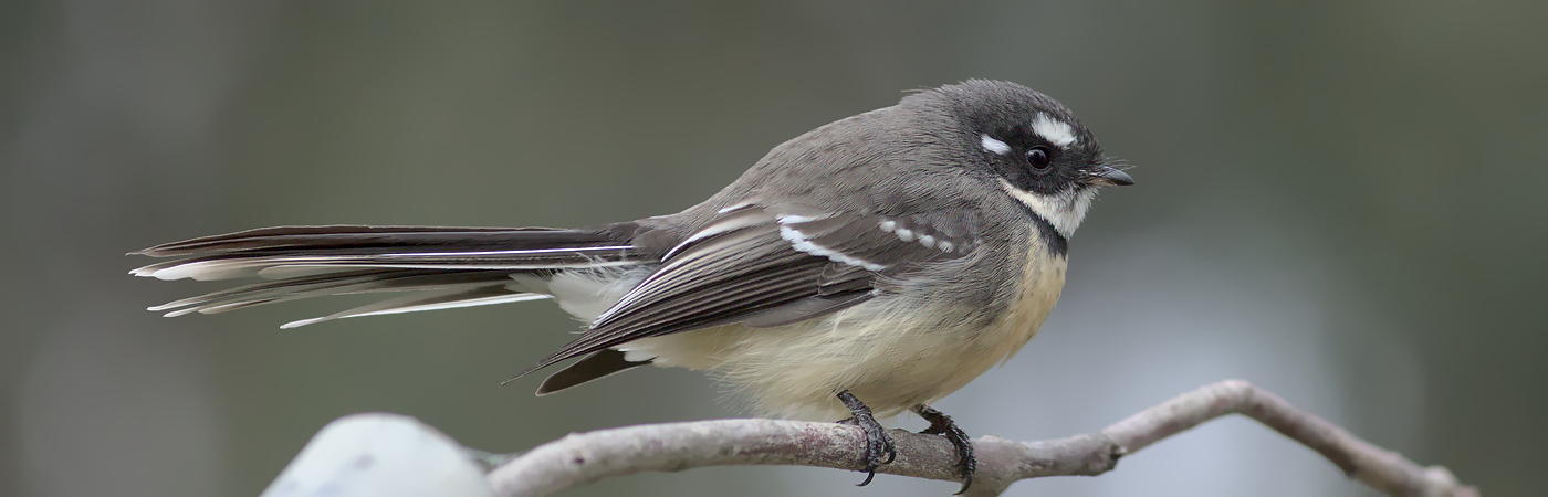 Grey Fantail (Image ID 46556)