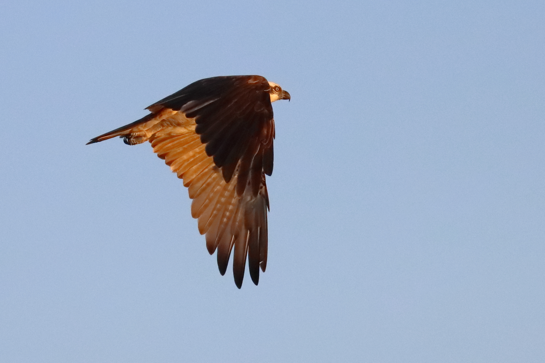 Osprey (Image ID 46540)