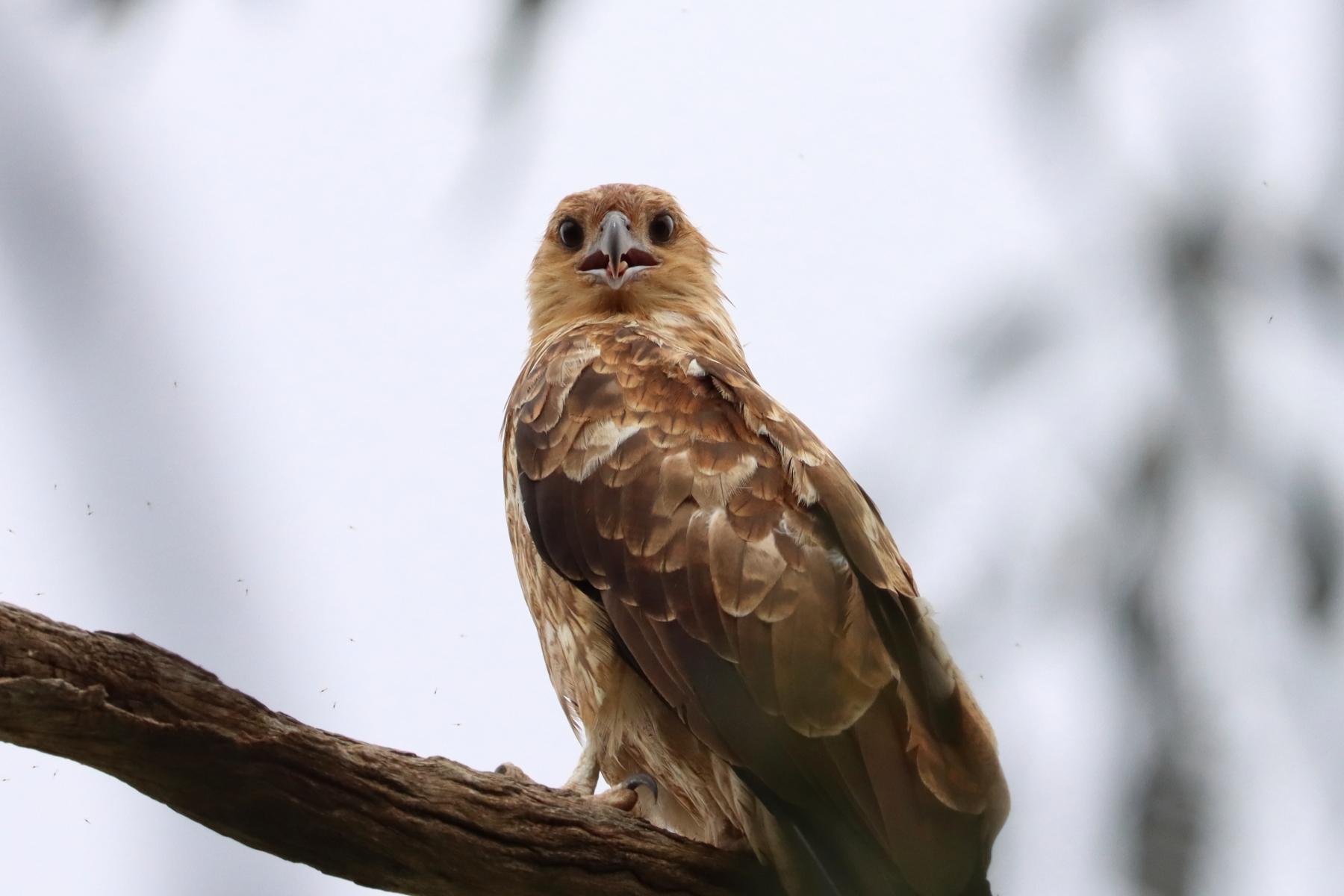 Whistling Kite (Image ID 46796)