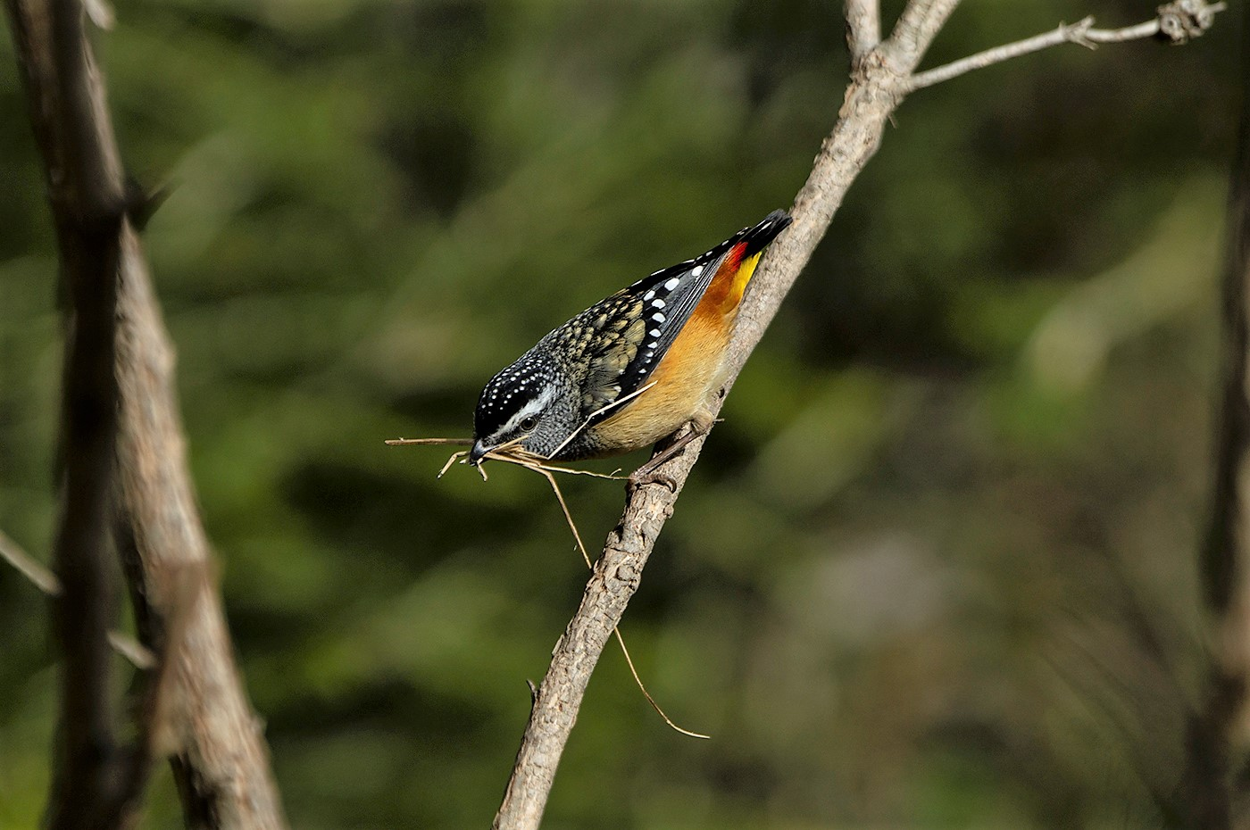 Spotted Pardalote (Image ID 46939)