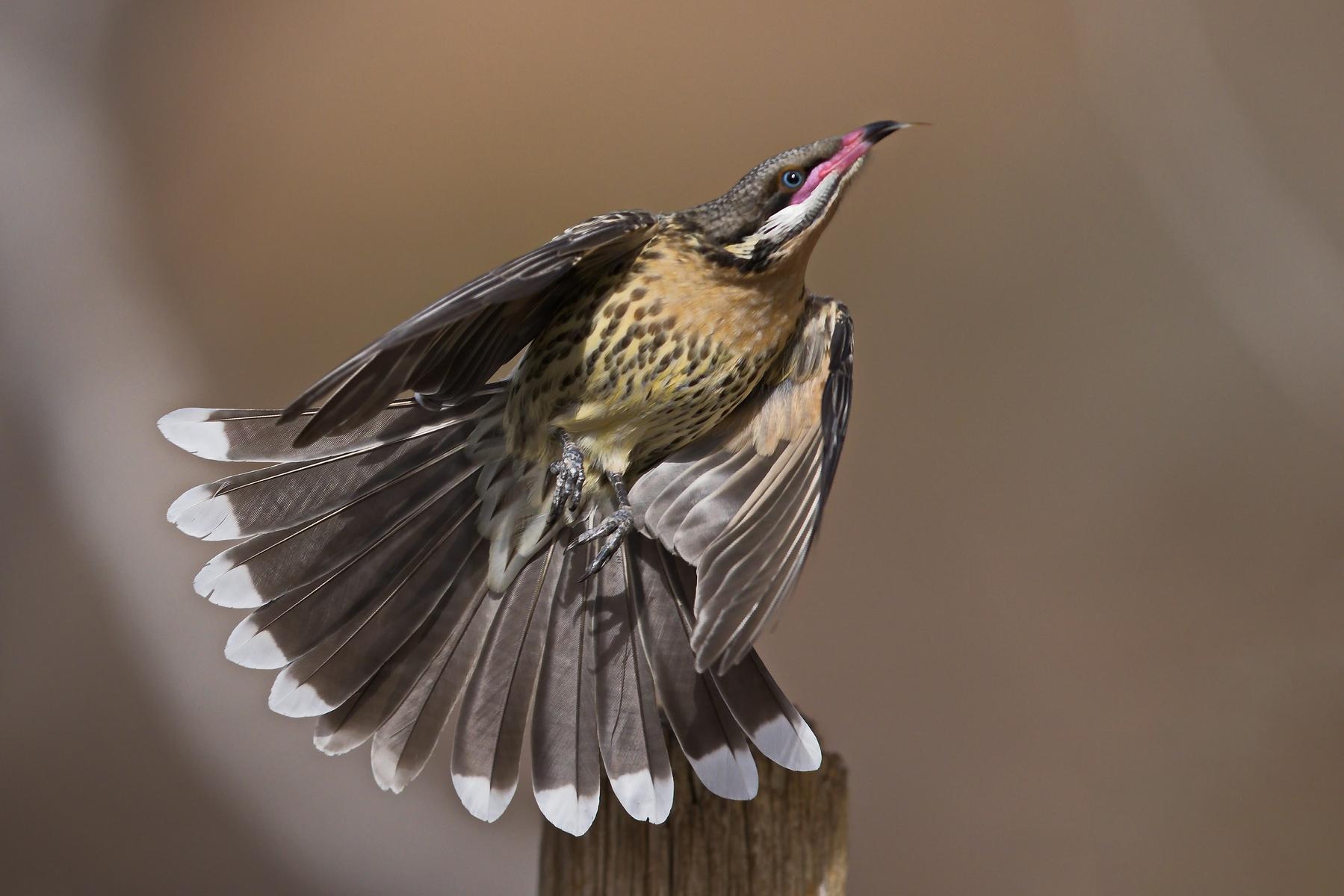 Spiny-cheeked Honeyeater (Image ID 47201)