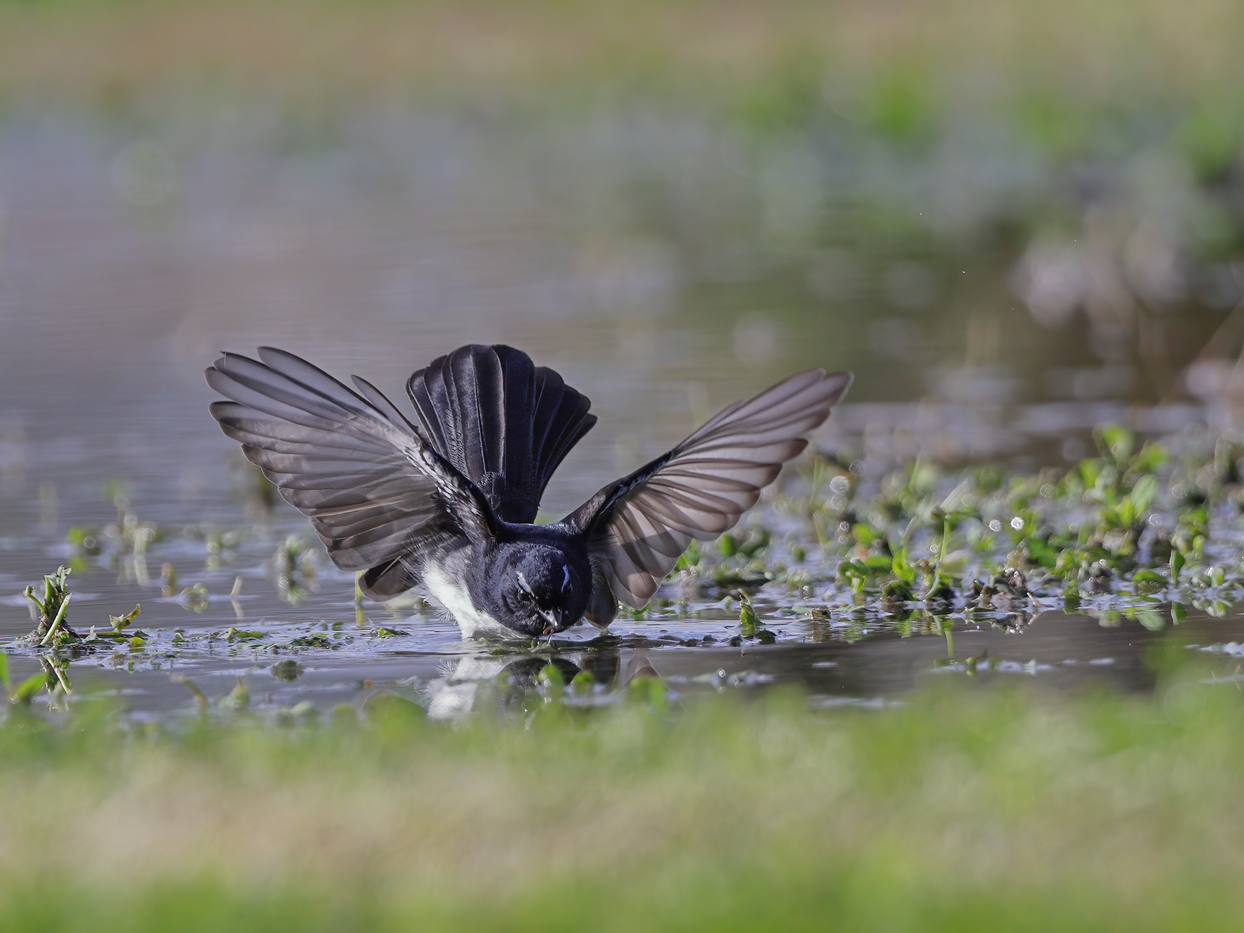 Willie Wagtail (Image ID 47055)