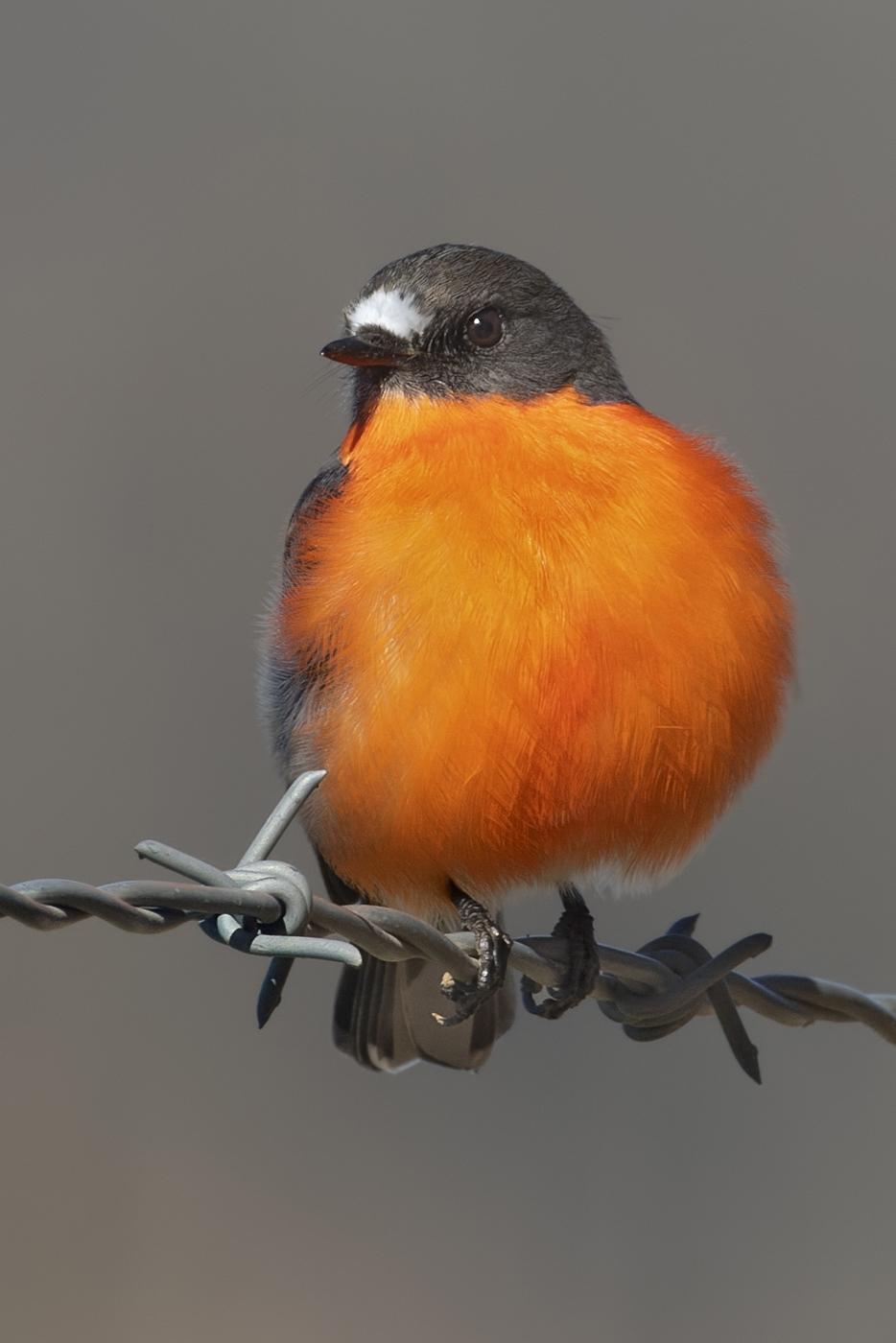Flame Robin (Image ID 46884)