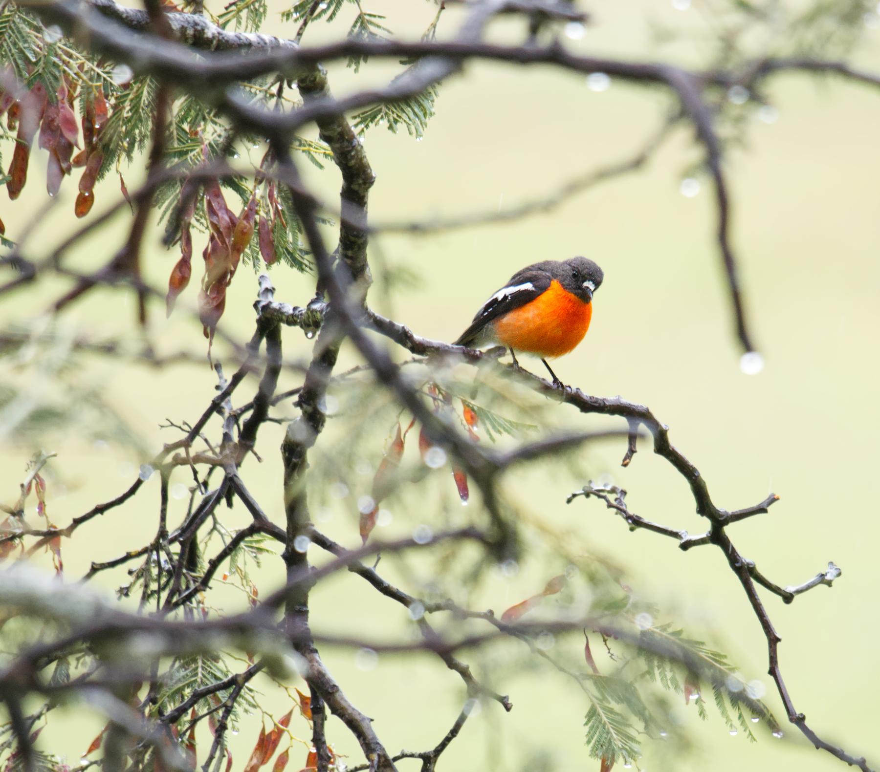 Flame Robin (Image ID 47035)