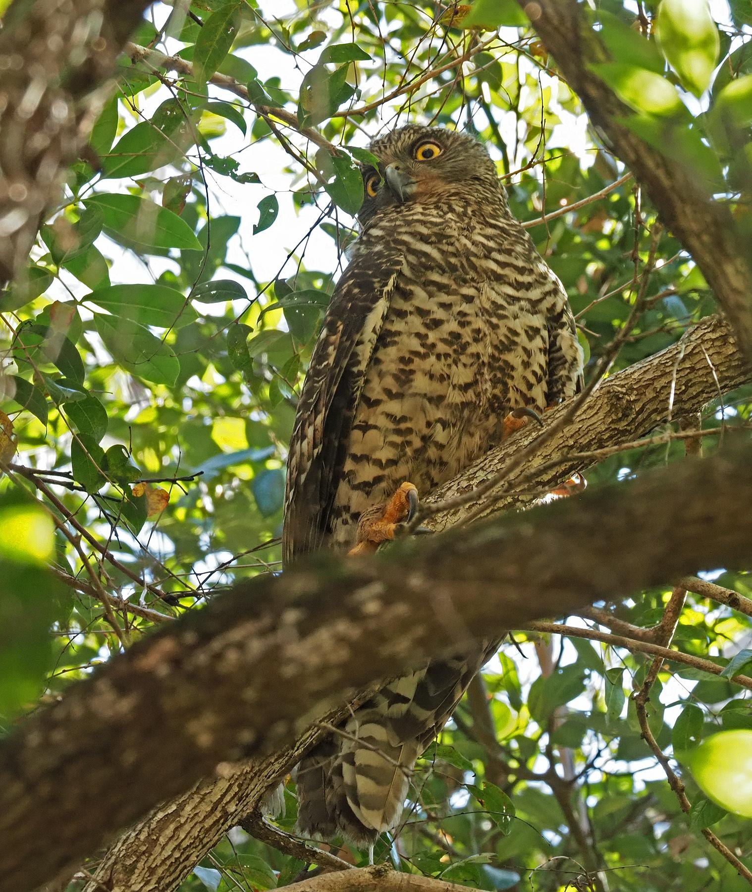 Powerful Owl (Image ID 47173)