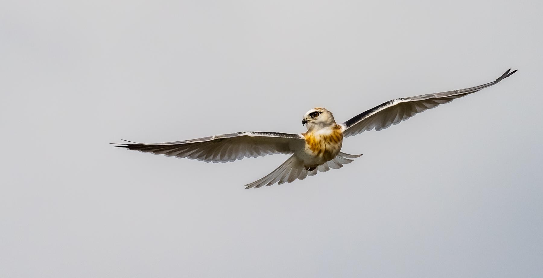 Black-shouldered Kite (Image ID 47196)