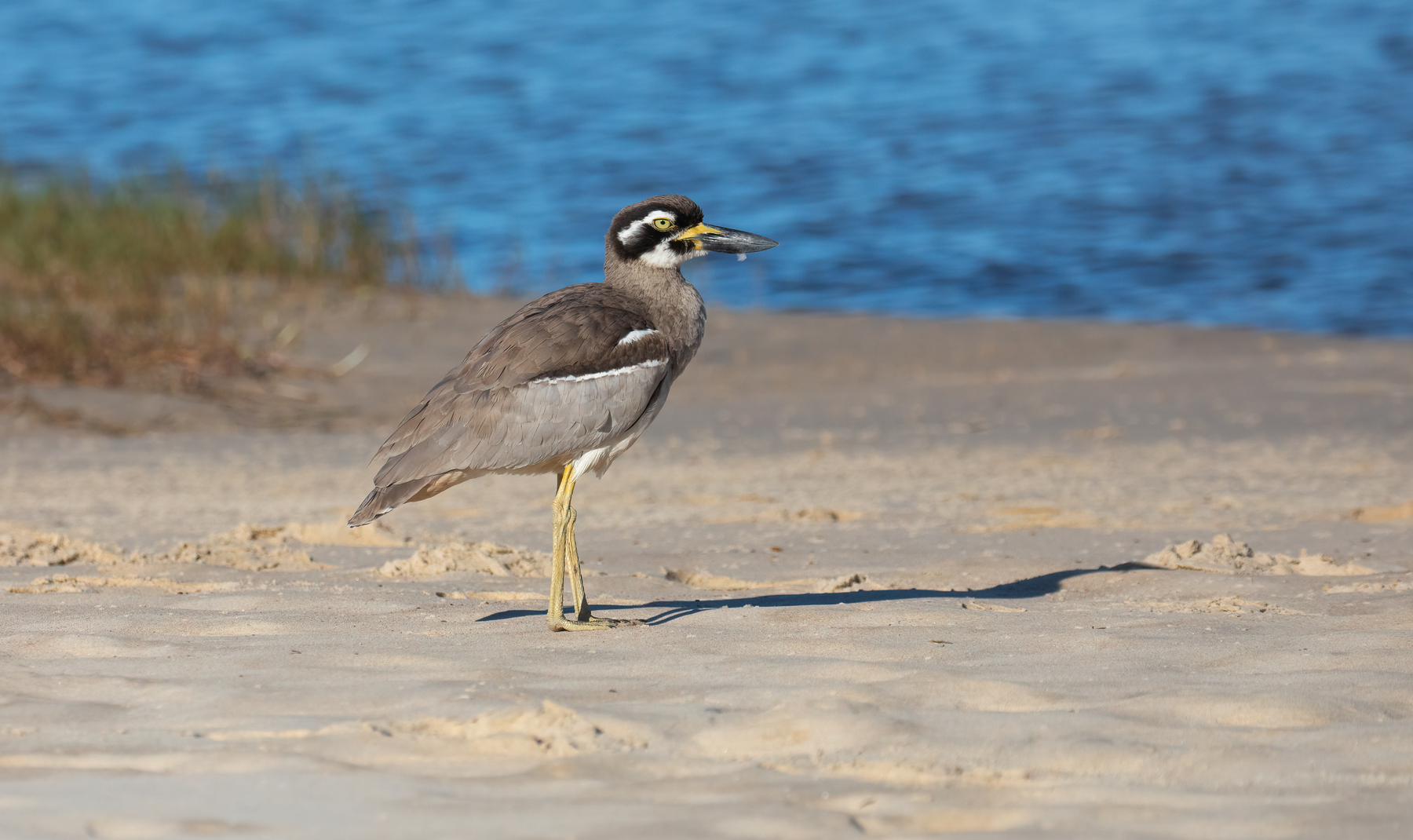 Beach Stone-curlew (Image ID 47087)