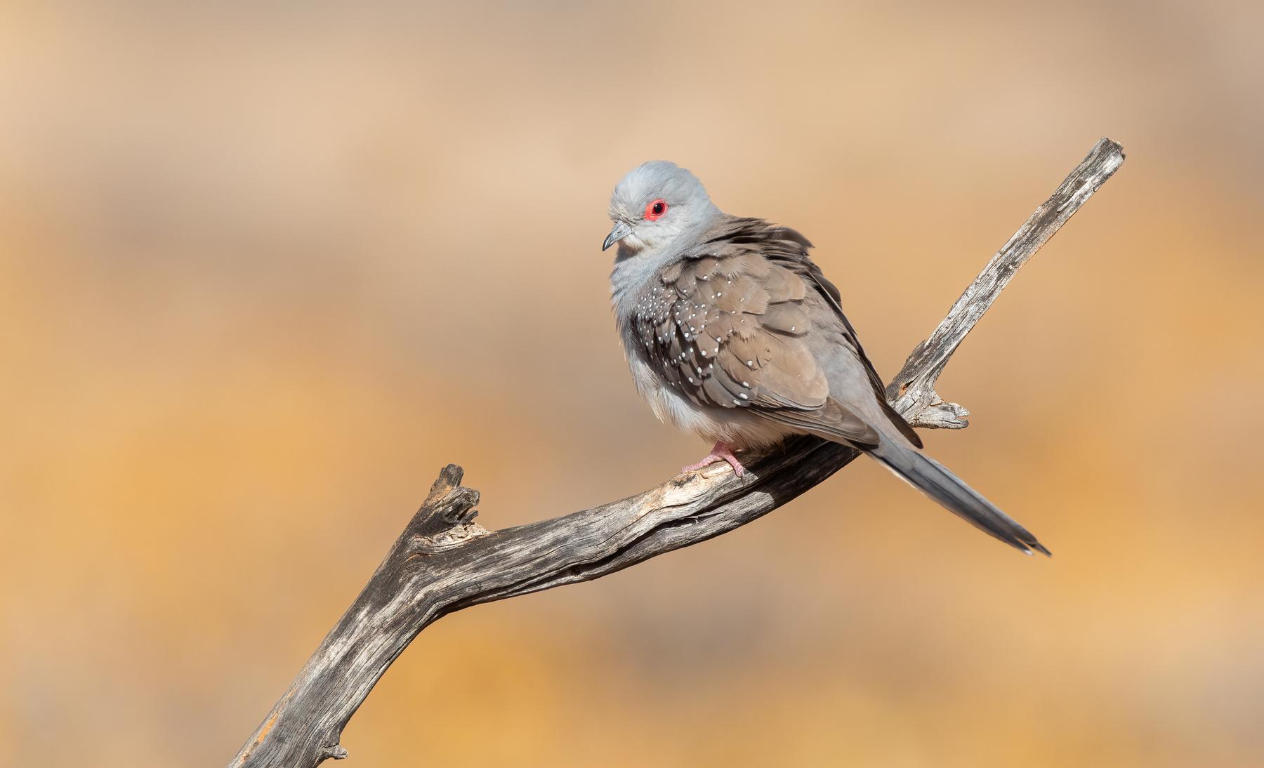 Diamond Dove (Image ID 47180)