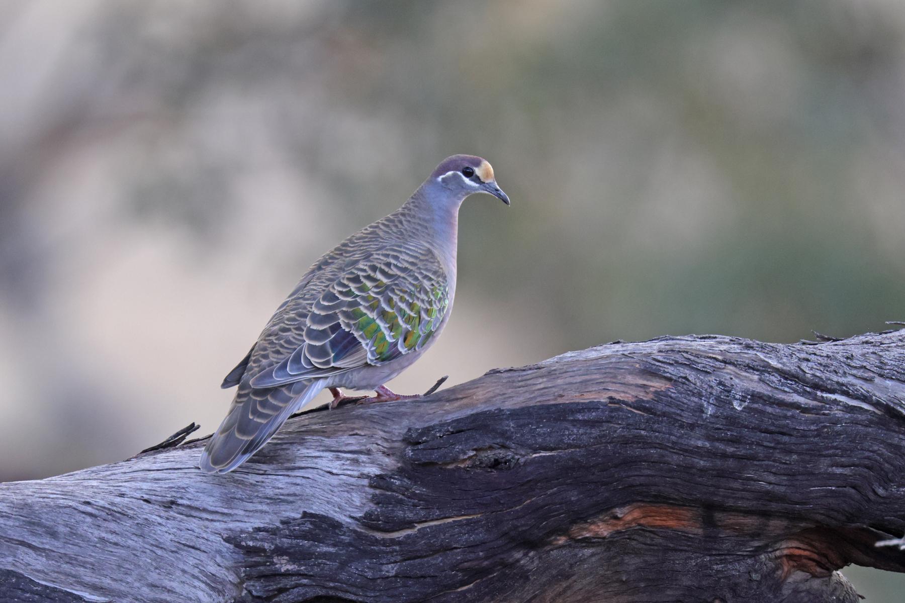 Common Bronzewing (Image ID 47101)