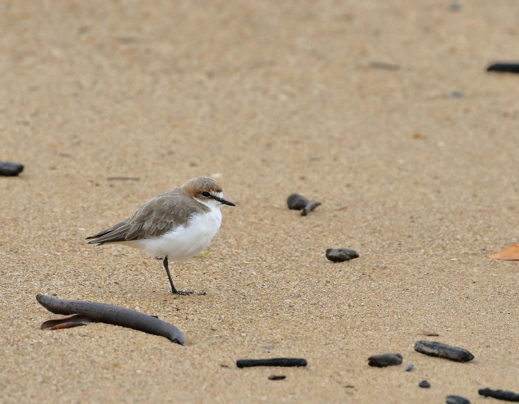 Red-capped Plover (Image ID 46979)