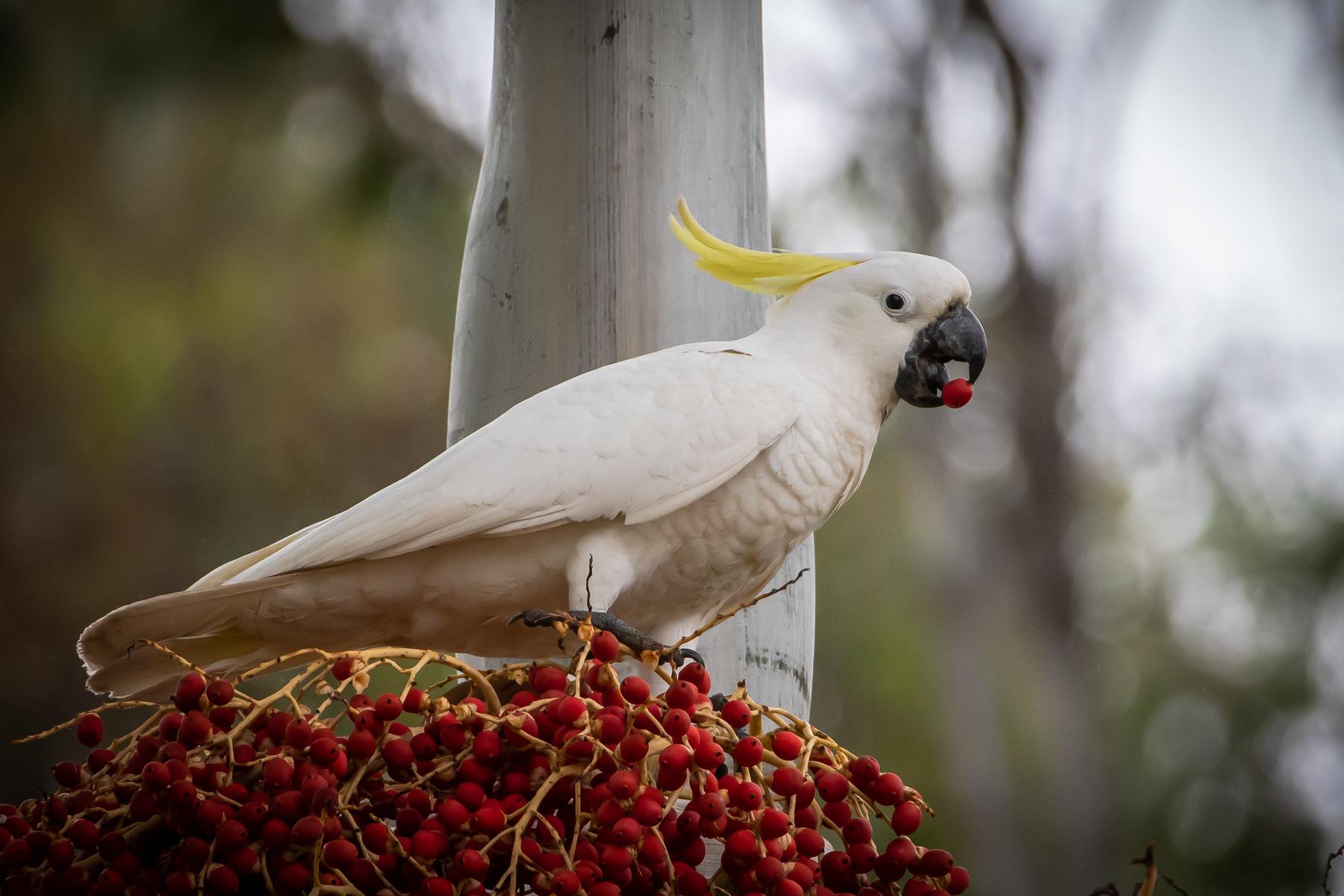 Sulphur-crested Cockatoo (Image ID 47018)