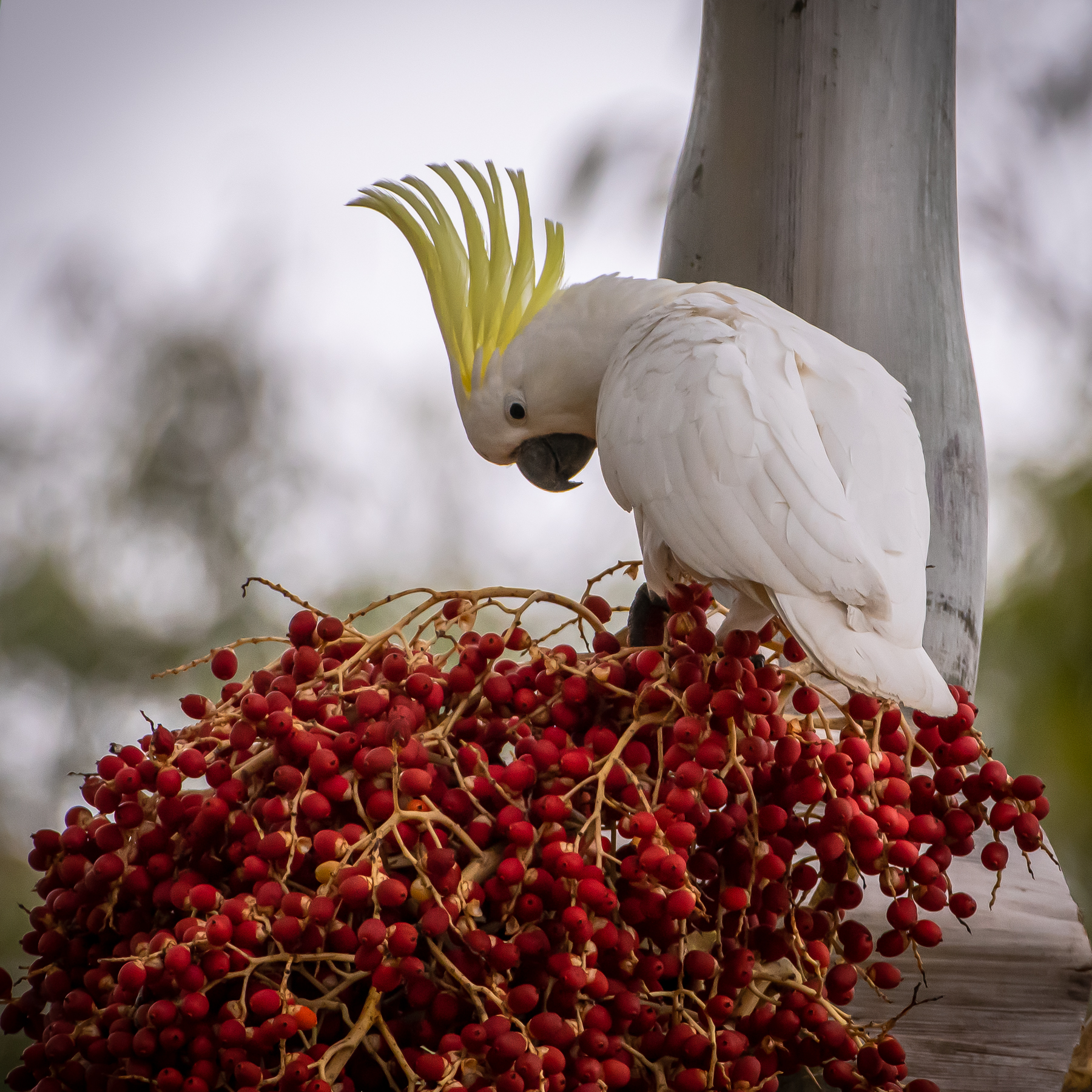 Sulphur-crested Cockatoo (Image ID 47017)