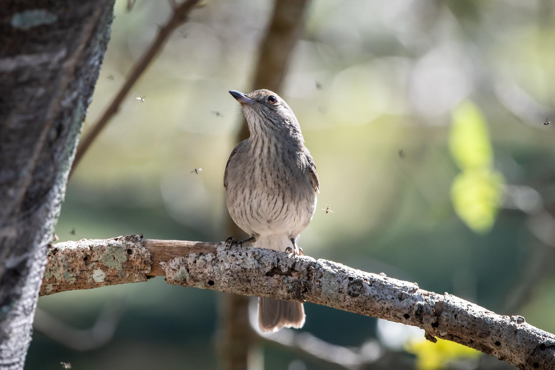 Grey Shrike-thrush (Image ID 47001)