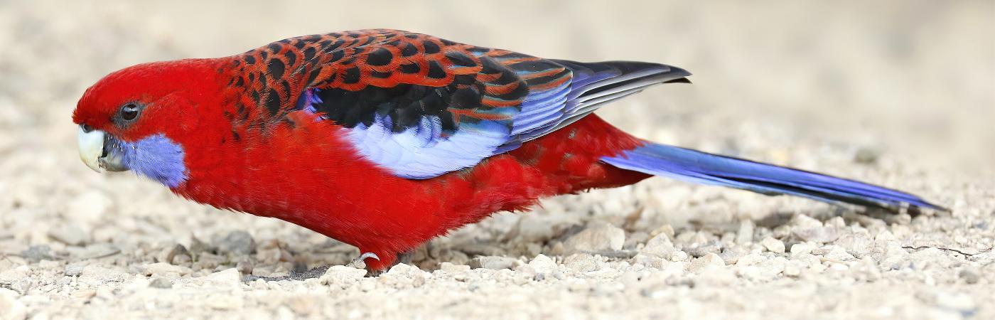 Crimson Rosella (Image ID 47159)