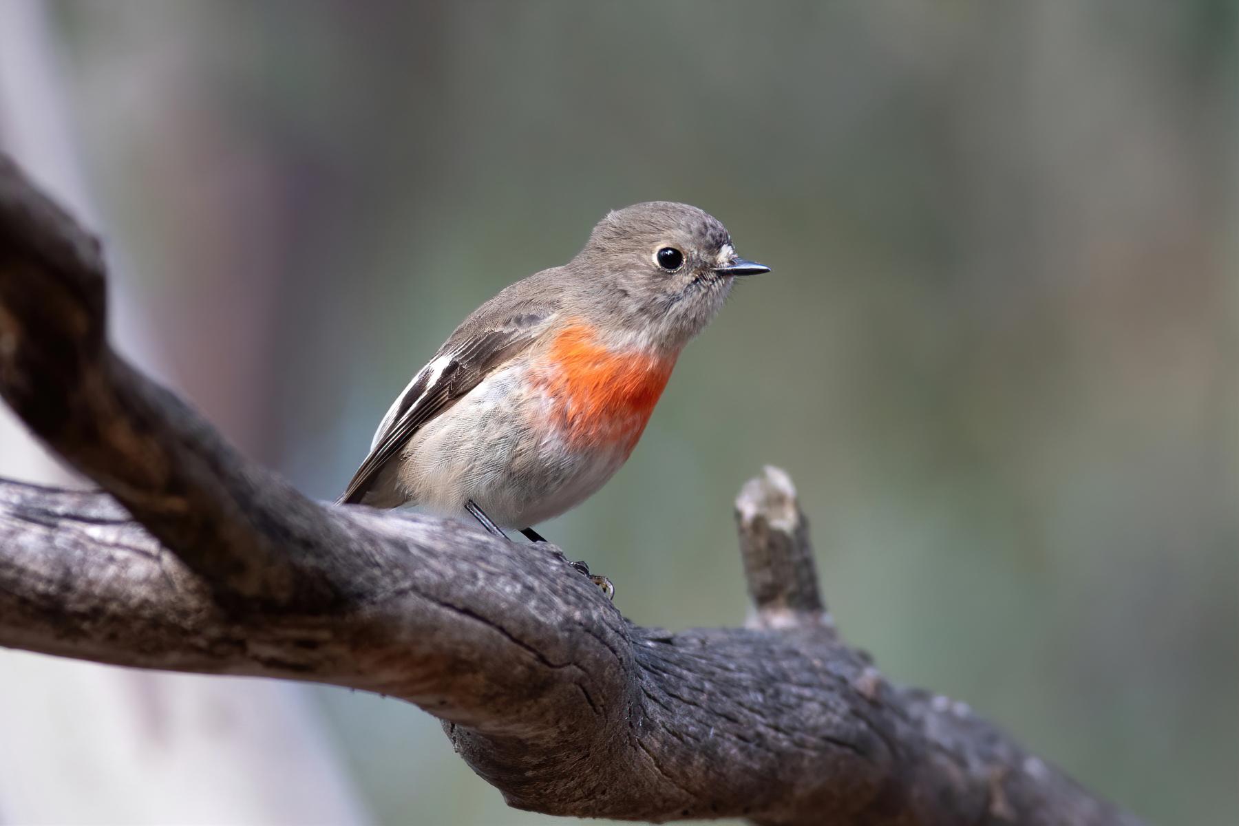 Scarlet Robin (Image ID 47154)