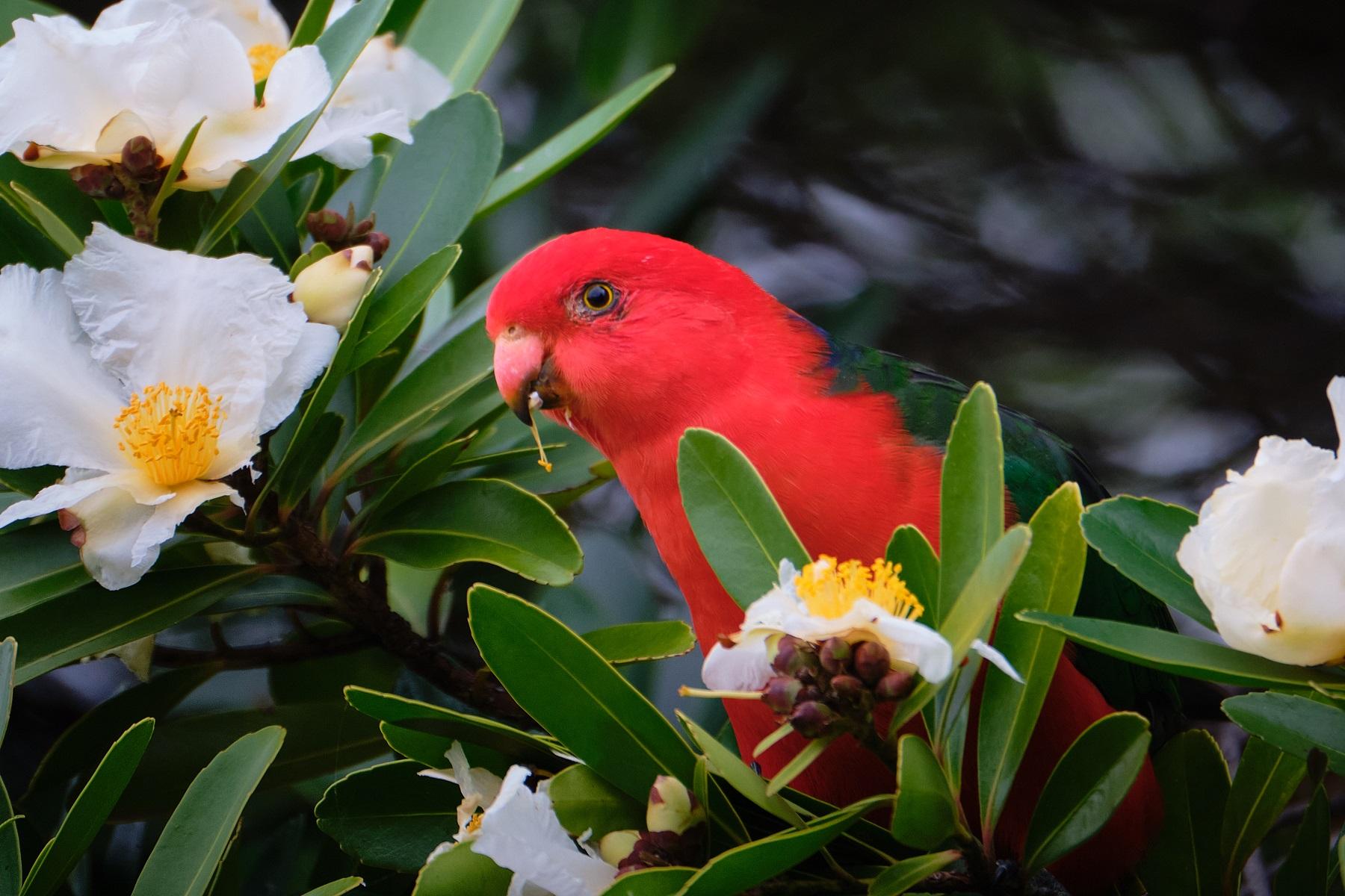 Australian King-Parrot (Image ID 47053)