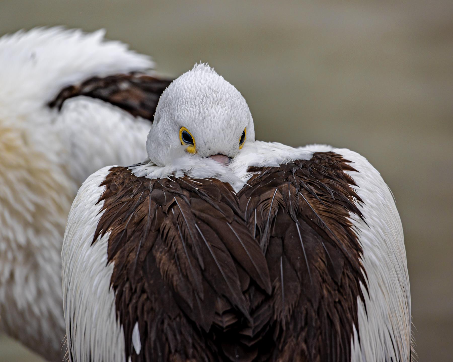 Australian Pelican (Image ID 47134)