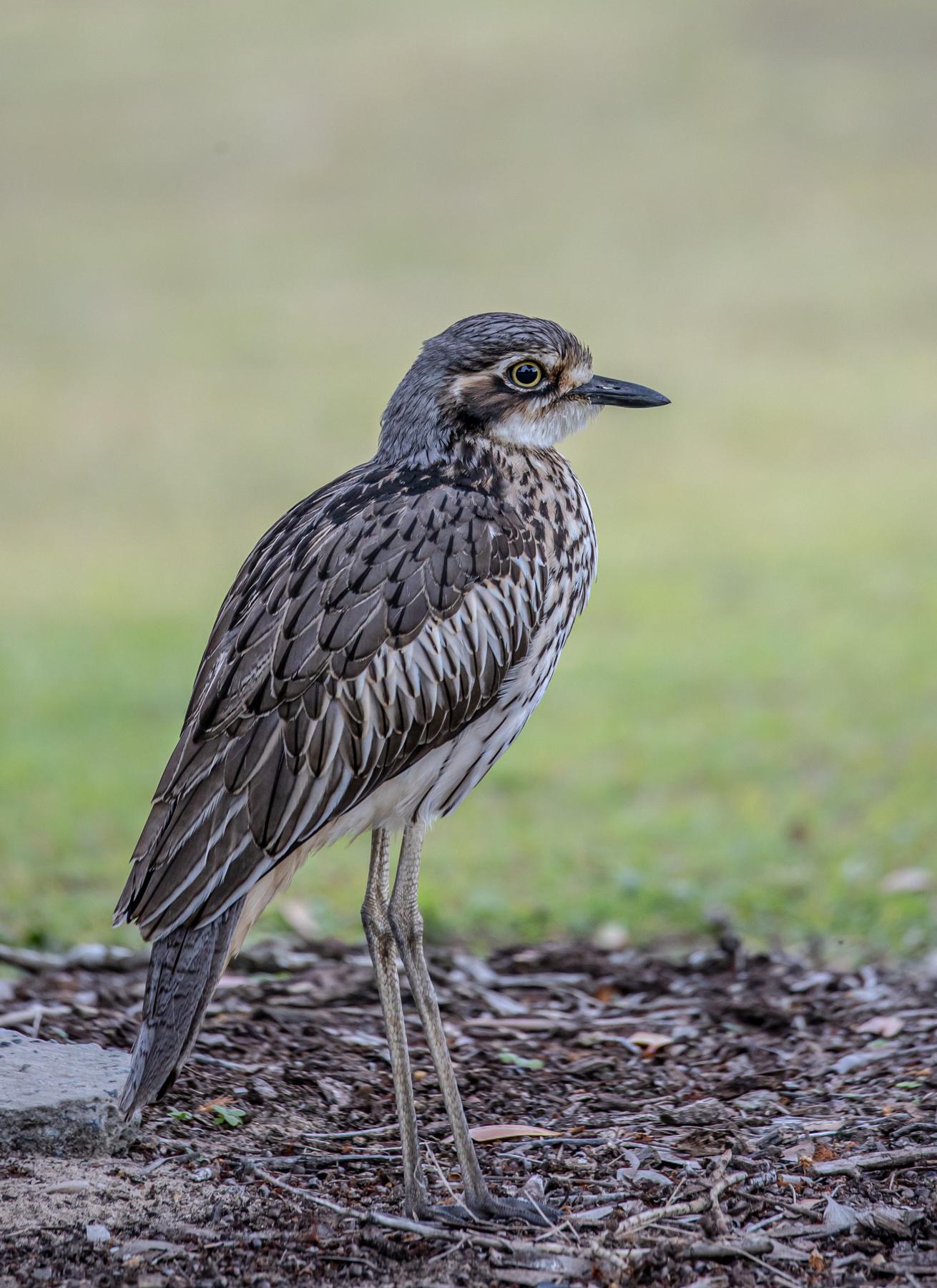 Bush Stone-curlew (Image ID 46971)