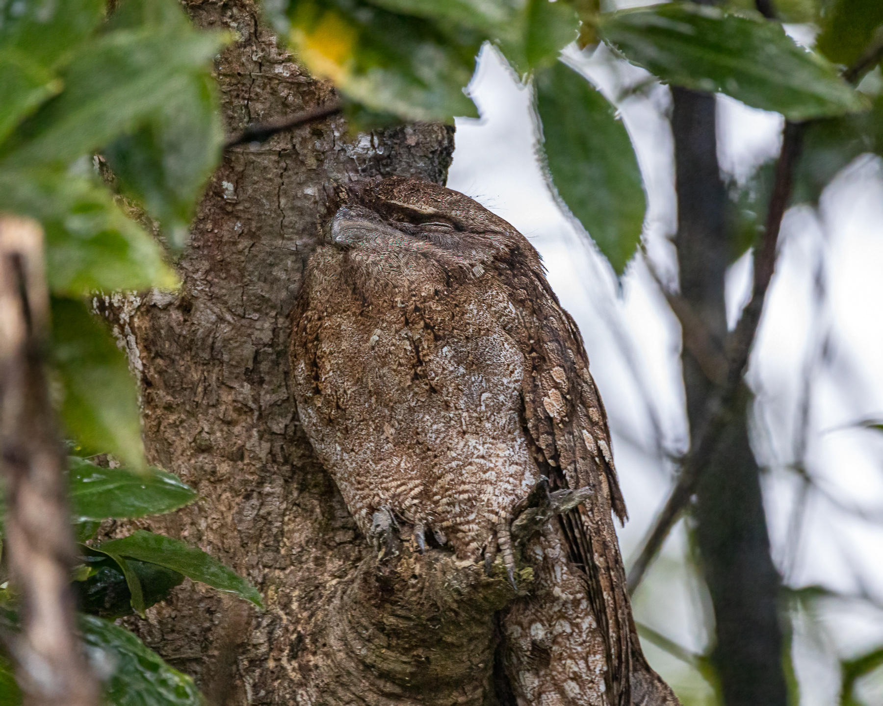 Papuan Frogmouth (Image ID 46911)