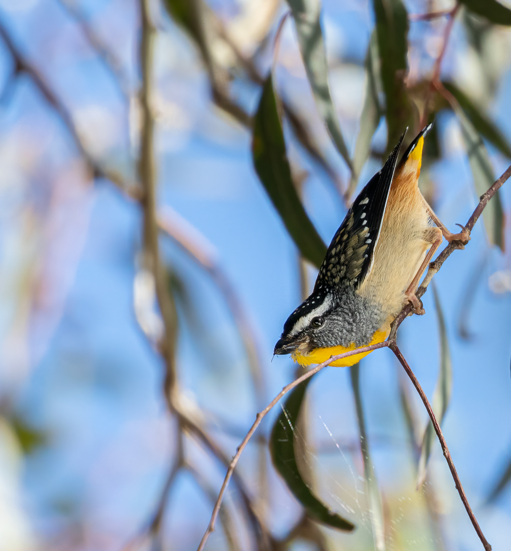 Spotted Pardalote (Image ID 46960)