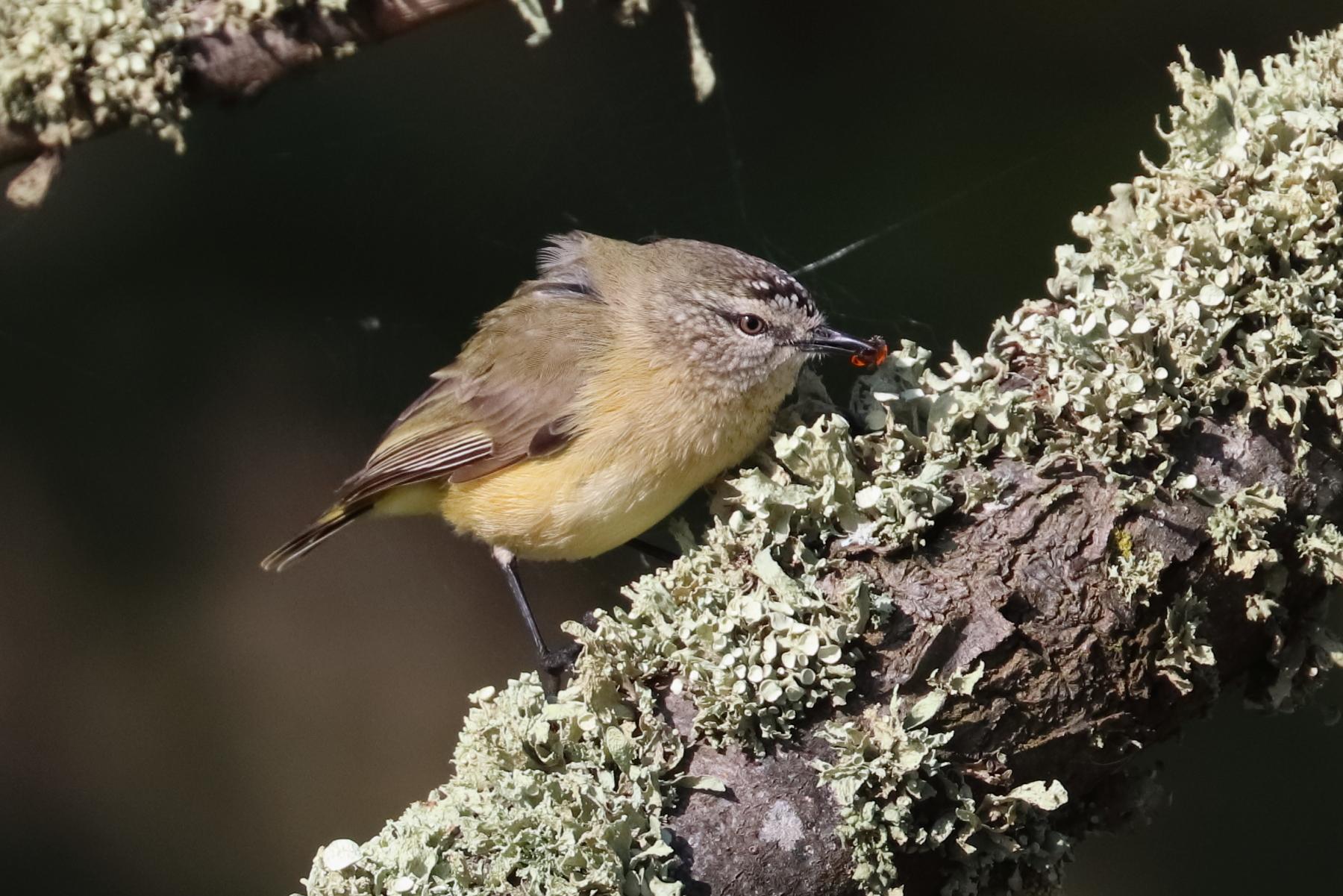 Yellow-rumped Thornbill (Image ID 47028)