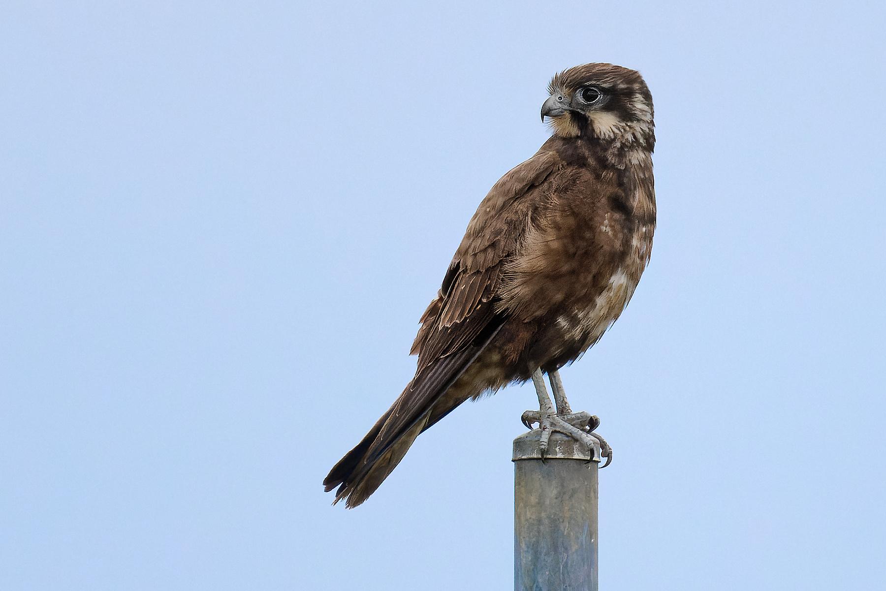Brown Falcon (Image ID 47195)