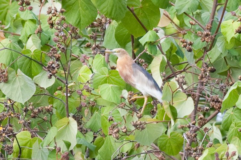 Javan Pond Heron (Image ID 2200)