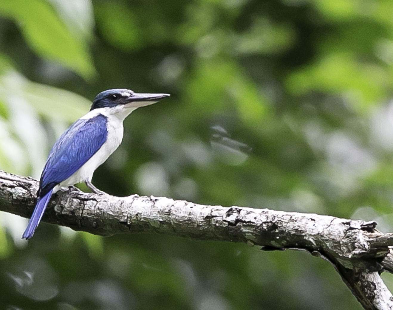 Collared Kingfisher (Image ID 16665)