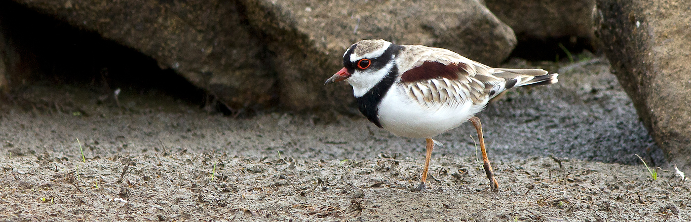 Black-fronted Dotterel (Image ID 18920)