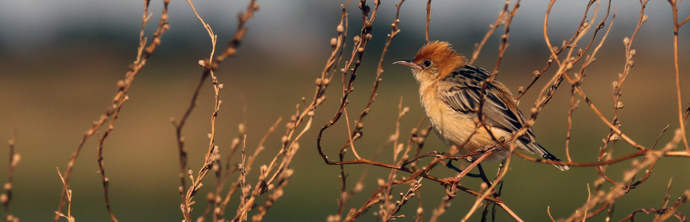 Golden-headed Cisticola (Image ID 18999)