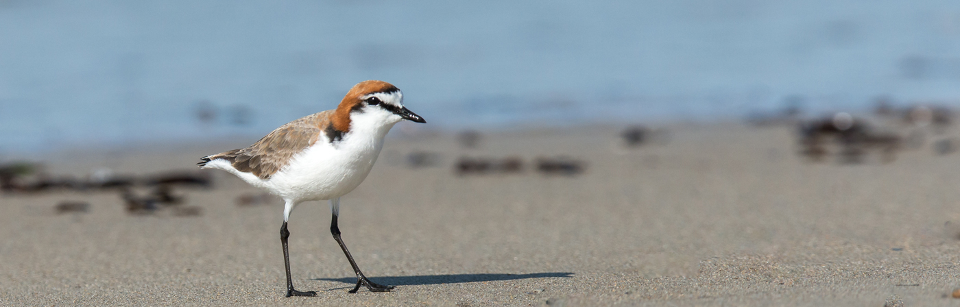 Red-capped Plover (Image ID 19448)