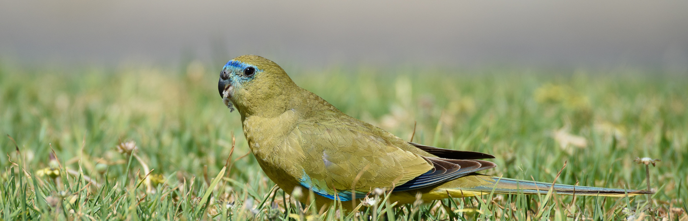 Rock Parrot (Image ID 19263)