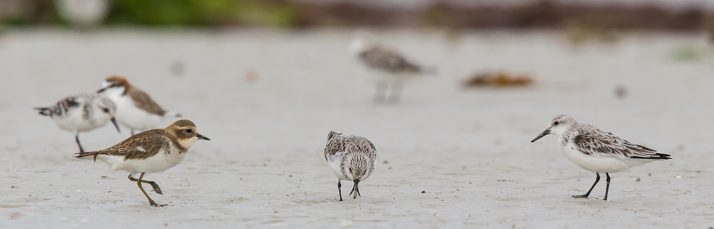 Double-banded Plover, Sanderling