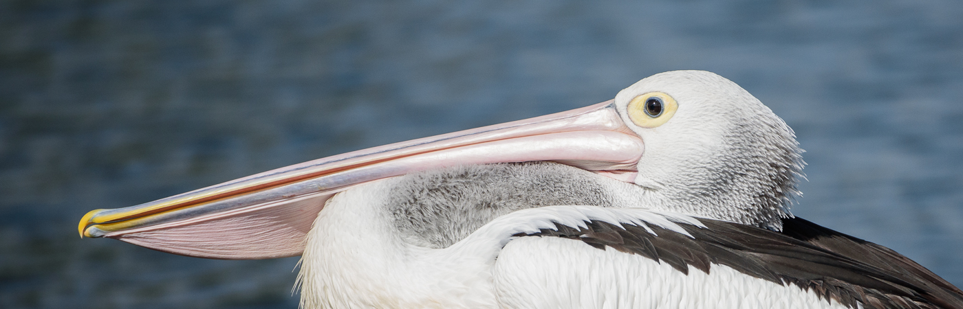 Australian Pelican (Image ID 19710)