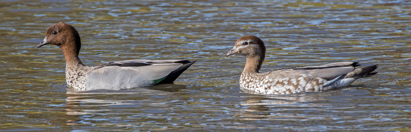 Australian Wood Duck (Image ID 19575)