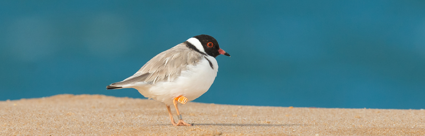 Hooded Plover (Image ID 19886)
