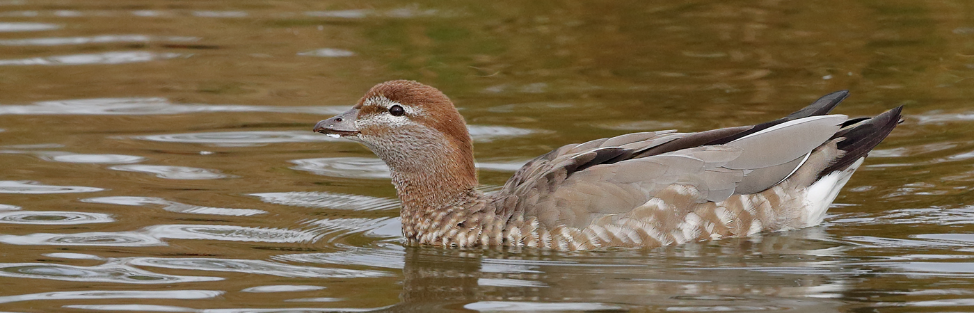Australian Wood Duck (Image ID 20205)