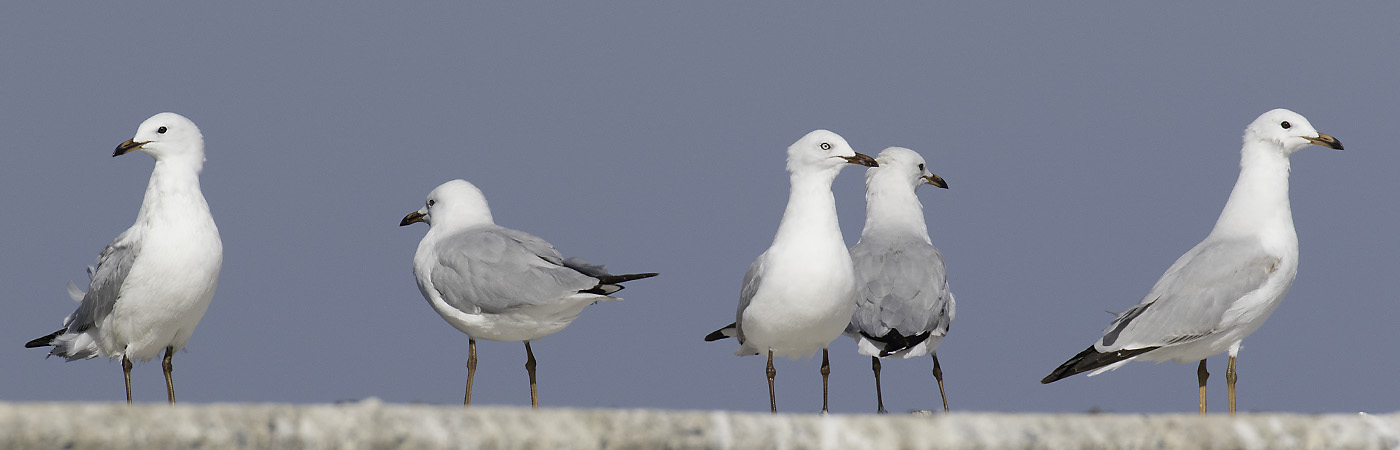 Silver Gull (Image ID 19884)