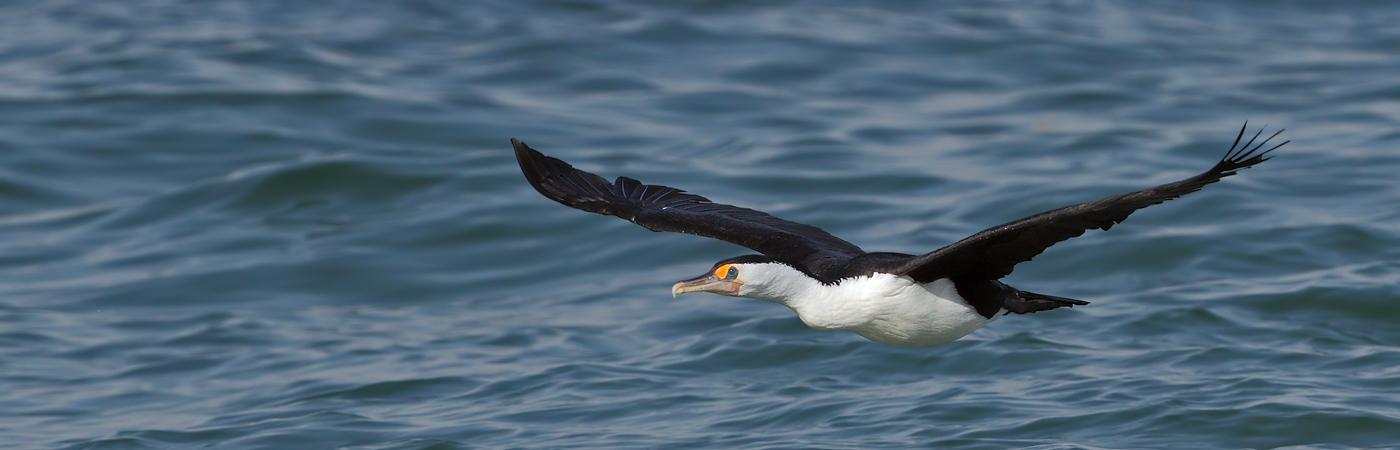 Great Pied Cormorant (Image ID 20114)