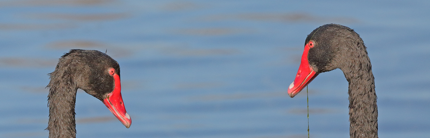 Black Swan (Image ID 20321)