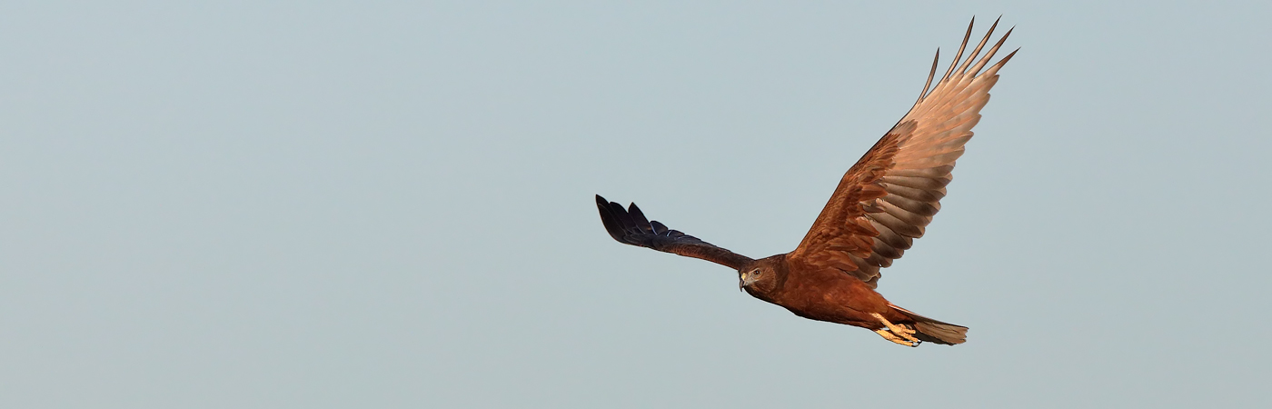 Swamp Harrier (Image ID 20269)