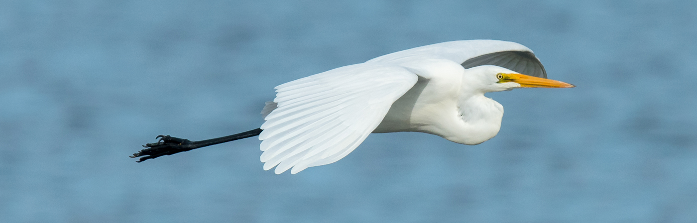 Great Egret (Image ID 20408)