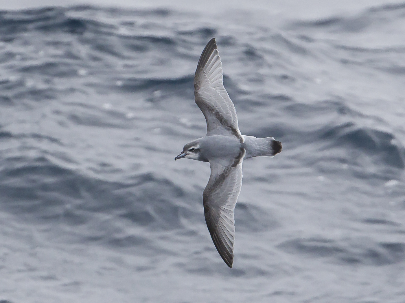 Antarctic Prion (Image ID 20804)