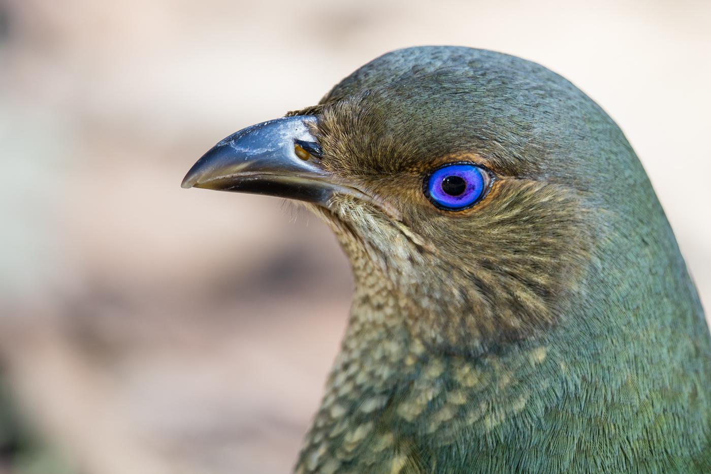 Satin Bowerbird (Image ID 21115)