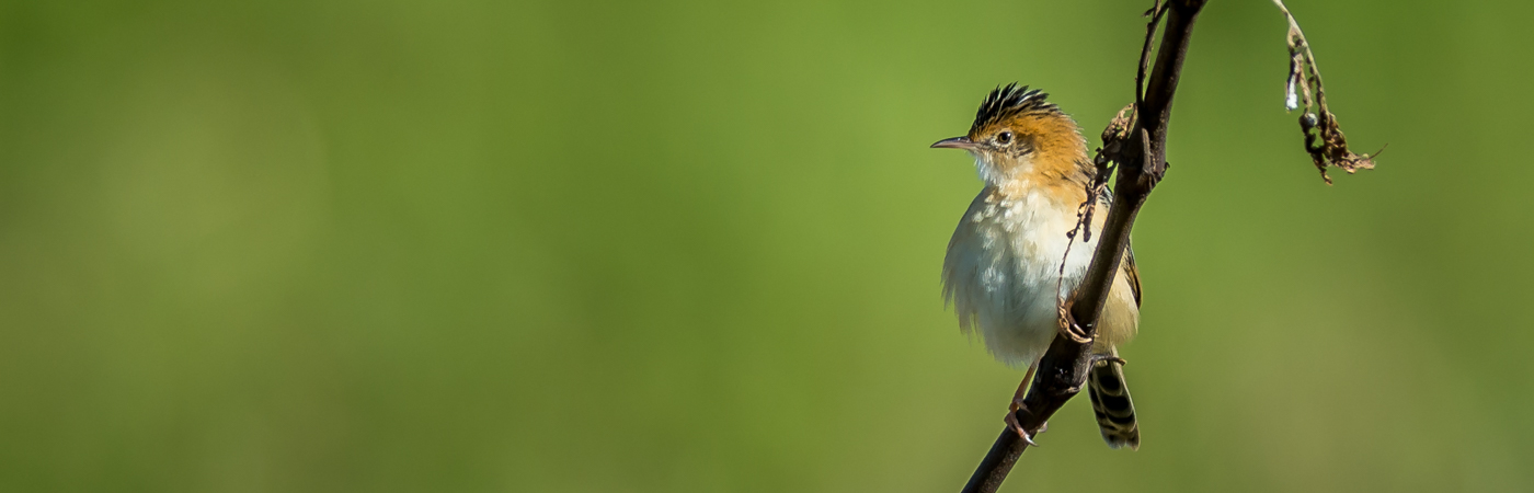 Golden-headed Cisticola (Image ID 21244)