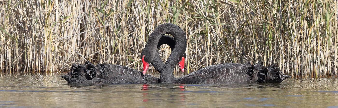Black Swan (Image ID 21122)